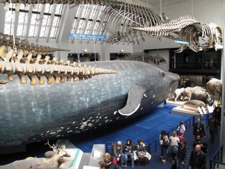 Чучело голубого кита