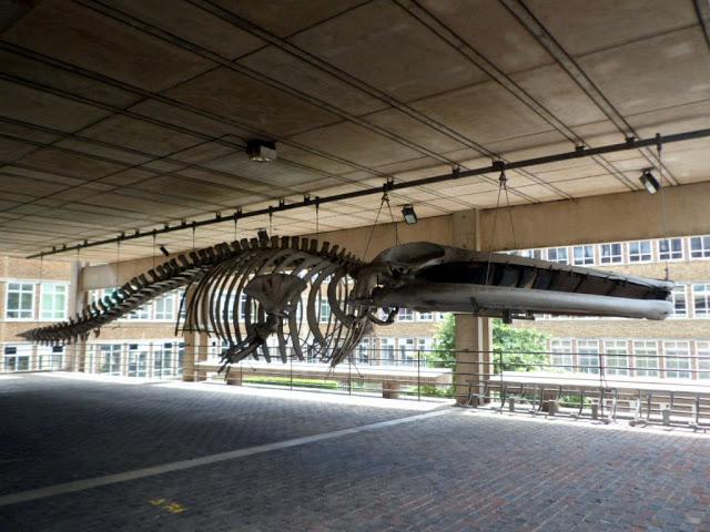 Скелет кита при входе в зоологический музей