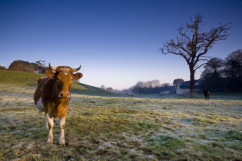 Гернсийская порода коров
